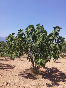 Sarı lop incir ağacımız.