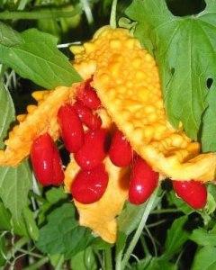 kudret narı kırmızı meyveleri